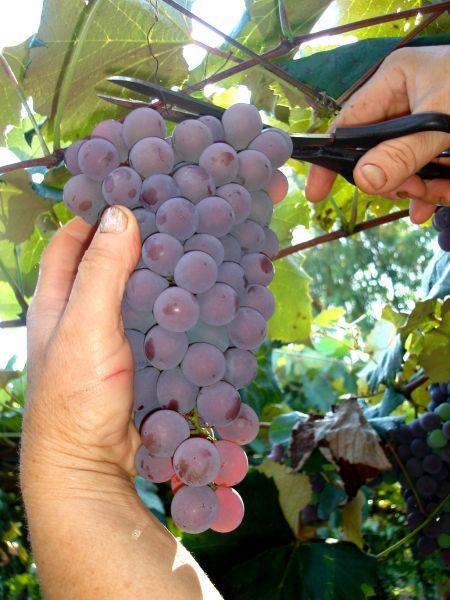Abertura da Colheita da Uva com festa no dia 27