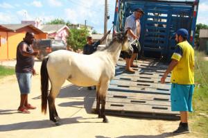 EM JUNHO : 14 CAVALOS SÃO RECOLHIDOS PELA PREFEITURA